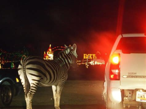 you ll love the only drive through christmas lights safari