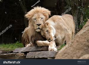 Lions Love Lion Lioness Cuddle Stock Photo 36926056 ...