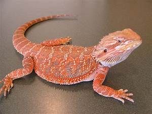 The Joys of Reptile Keeping and Awesome Reptiles: Bearded ...