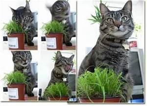Herbe à Chat : l 39 herbe chat soins et hygi ne du chat wamiz ~ Melissatoandfro.com Idées de Décoration