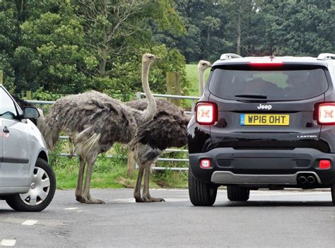 safari park knowsley visit zoos neil theasby ostriches geograph