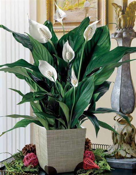 plante interieur sans lumiere plantes d int 233 rieur 224 fleurs n 233 cessitant peu de lumi 232 re