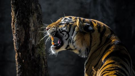 Hd Wallpapers 1366x768 Animals - 1366x768 wallpaper tiger roar animal