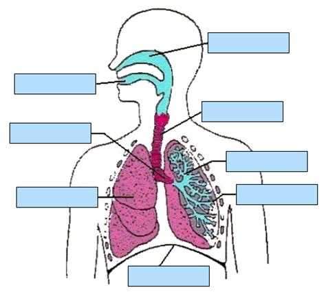 label the respiratory system diabetes inc