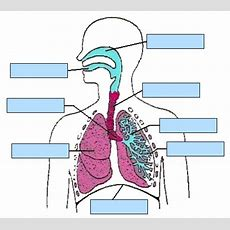 The Respiratory System An Interactive Activity