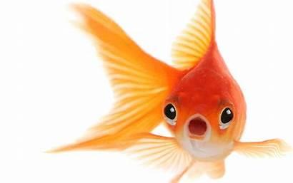 Goldfish Transparent Hq Freepngimg Starpng Saksham