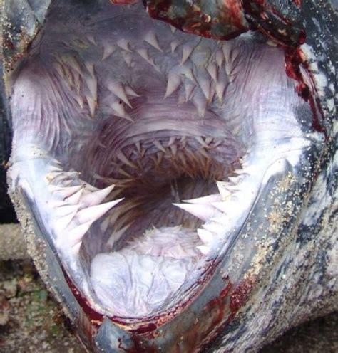la bouche qui fait peur de la tortue luth