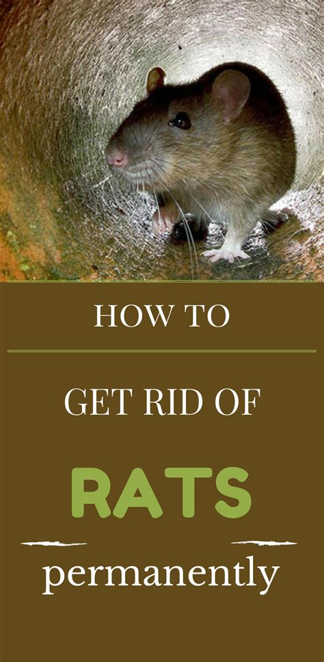 getting rid of a how to get rid of rats permanently 101cleaningsolutions