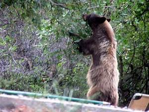 Black Bear Color Variations Bear Smart Durango