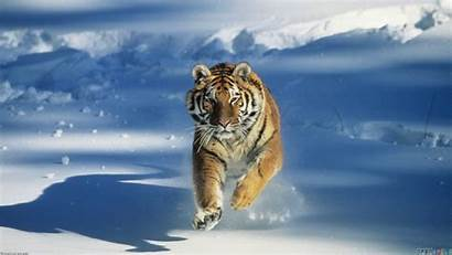 Tiger Snow Wallpapersafari Walls Winter Open