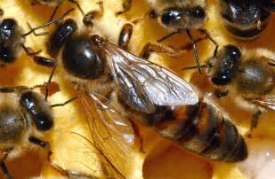 Queen Honey Bee Types