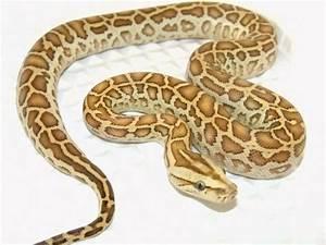 Hypo Burmese Python | Reptiles and Amphibians | Pinterest ...