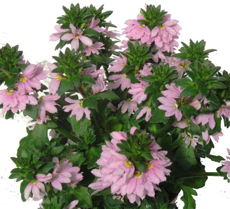 scaevola aemula faecherblume pflanzen versand harros