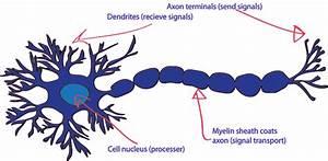 Neuron Diagram