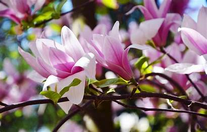 Magnolia Sunny Botanical Spring Ukraine Garden Desktop