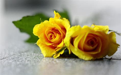 Wallpapers Yellow Rose Wallpapers