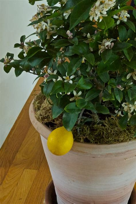 how to meyer lemon trees in garden pots garden