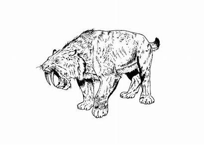 Tigre Sable Dientes Denti Colorare Colorear Disegno