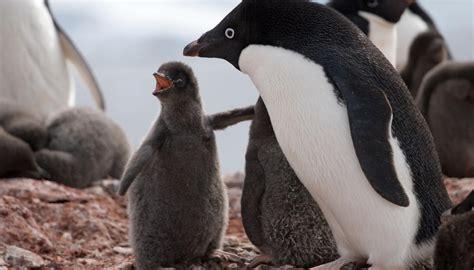 antarctic tragedy    adelie penguin chicks