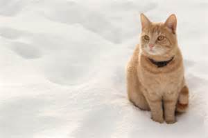 how cold is cold for cats how to care for a cat in cold weather cats breeds