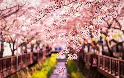 Sakura Japan Spring Wallpapers Cherry Desktop Bloom