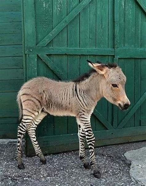 ippo   rare baby zonkey animalia amour cute animals