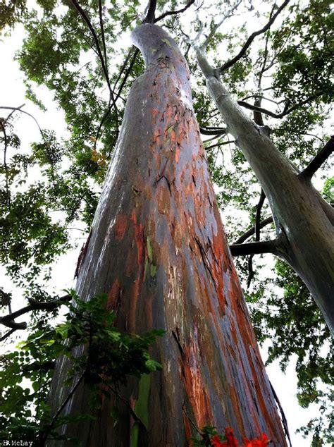 rainbow coloured eucalyptus trees   guinea  pics