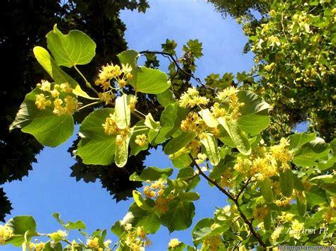 feriti va de alergia la florile de tei salina din oras