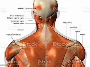 Labeled Anatomy Chart Of Neck And Back Muscles On White