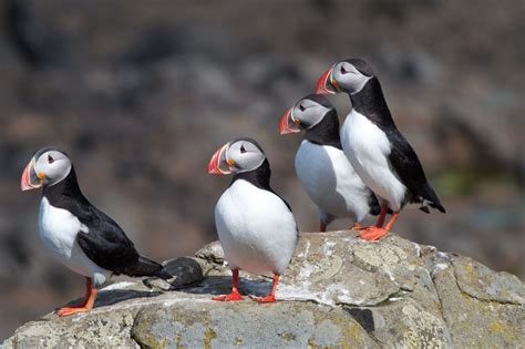 where can you see puffins in iceland icelandair hotels