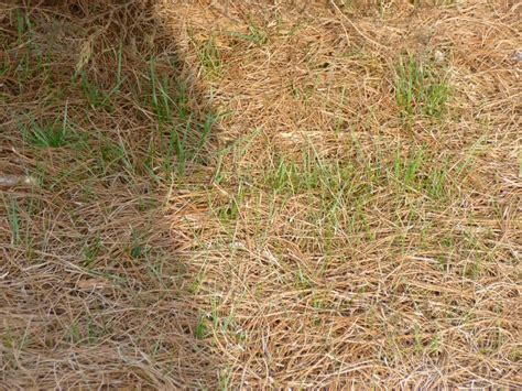 how to mulch grass garden of aaron eating my words on pine straw