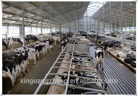 Dairy Cow Shed Design - steel structure cowshed dairy farm shed building buy