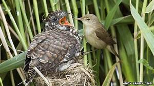 BBC - Earth News - Cuckoos are no match for local reed ...