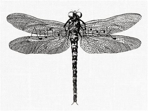 dragonfly  image insect drawing vintage  antiquestock