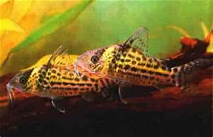 Mailed Catfish  A Guide On The Care And Upkeep Of The Cory