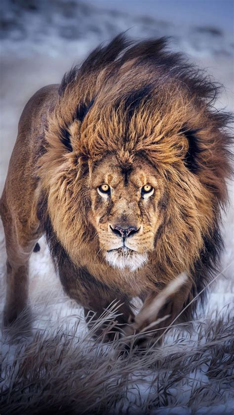 Best 25+ Lion Ideas On Pinterest  Lions In The Wild, A
