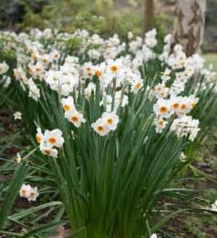 buy tazetta daffodil bulbs narcissus geranium delivery