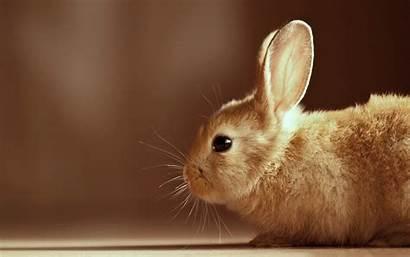 Bunny Brown Rabbit Desktop Wallpapers 4k