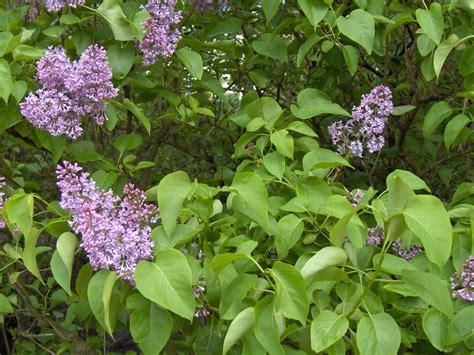 small lilac bush varieties 1000 images about tr 228 d och buskar n 229 gra barrv 228 xter on pinterest prunus viburnum opulus and