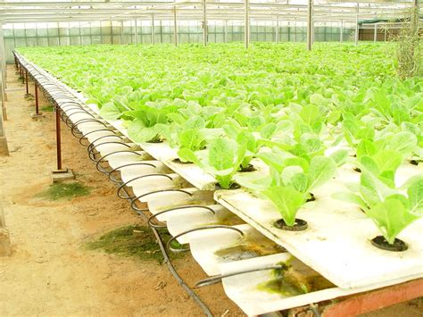 Hydroponic Gardening by Greenhouse Hydroponic Lettuce Commercial Hydroponics