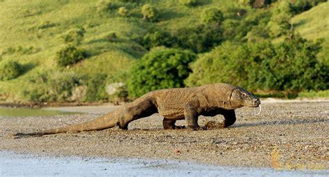 komodo island home giant lizards komodo national park