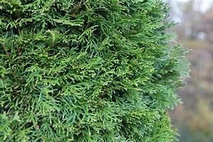 Thuja Smaragd Braun : 10 schnellwachsende hecken top ten der meist ~ Lizthompson.info Haus und Dekorationen