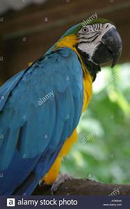Colourful blue and yellow parrot parakeet native ...
