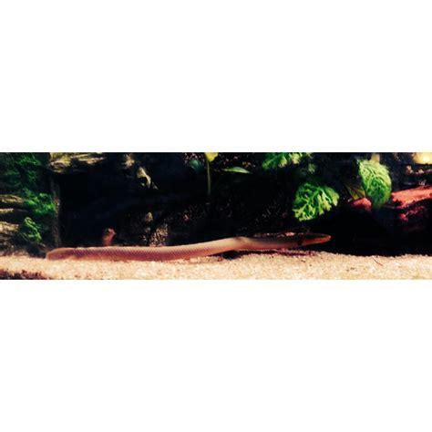 serpent d eau douce aquarium 28 images quelques liens utiles erpetoichthys calabaricus