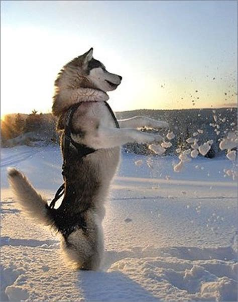 shedding shoo 27 ways of telling you how to avoid the alaskan malamutes