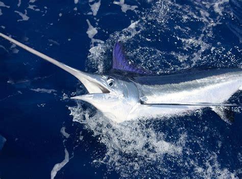 marlin fishing key west beach miami billfish tour orange sport classic trip south florida sea deep tournament read