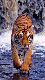 Tiger Phone Wallpapers - Top Free Tiger Phone Backgrounds ...