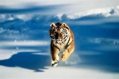 Tiger 3d Desktop Wallpapersafari