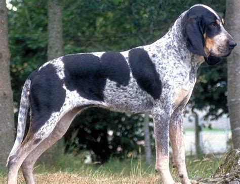 life span  great anglo francais white  black hound