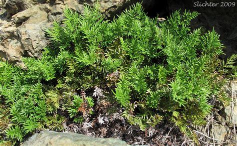 Indian's Dream, Oregon Cliff Brake, Podfern: Aspidotis ...
